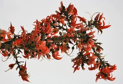 Flowers of Dhak or Palash are used to make traditional colours