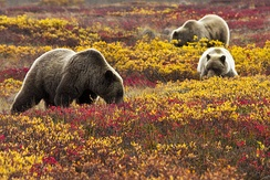 A grizzly bear sow and her two cubs foraging in a field for wild blueberries
