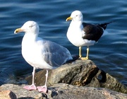 Opposite ends of the ring: a herring gull (Larus argentatus) (front) and a lesser black-backed gull (Larus fuscus)