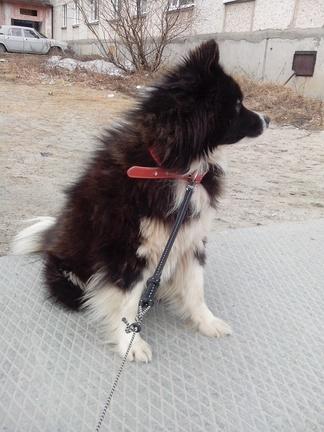 Ненецкая лайка, оленегонка (молодой кобель)
