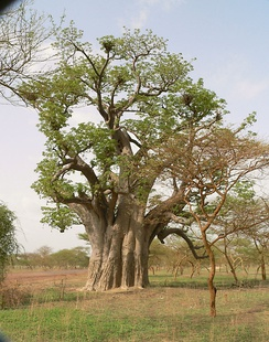 This African Baobab tree, Adansonia digitata, has an enormous bole beneath a relatively modest canopy that is typical of this species.