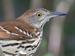A brown thrasher, Georgia's state bird.