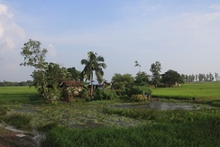 A typical landscape in the Delta with palms, rice, flat, green and ponds