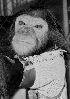 During the 29 November, 1961, NASA Mercury-Atlas 5 flight, Enos became the only chimpanzee, and third primate, to orbit the Earth