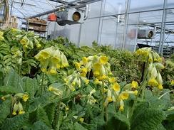 Промышленное выращивание первоцвета весеннего