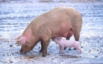 The pig has been domesticated over ten thousand years and selectively bred to have a pink skin, without melanin, which farmers traditionally have preferred to a dark color.[29]