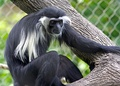 An Angola colobus monkey