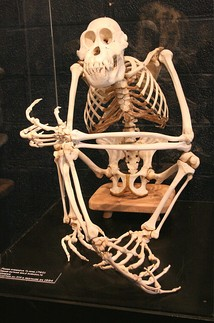 The orangutan's skeleton is adapted for its arboreal lifestyle.