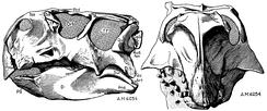 Череп, принадлежащий голотипу Монгольского пситтакозавра по Осборну, 1923г.