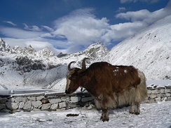 A yak at around 4790 m (15,715 ft)