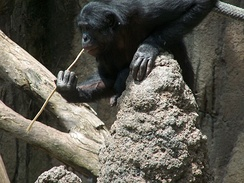 A bonobo fishing for termites using a sharpened stick. Tool usage in acquiring food is believed to be a cultural behavior.