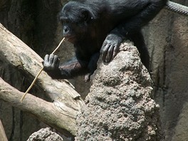 A bonobo fishing for termites with a stick