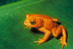 The golden toad of Costa Rica, extinct since around 1989. Its disappearance has been attributed to a confluence of several factors, including El Niño warming, fungus, habitat loss and the introduction of invasive species.[199]