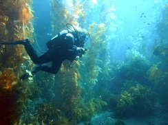A diver in a kelp forest off the coast of California