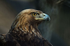 The golden eagle is the national symbol and animal of Albania.