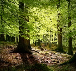 Beech trees are common throughout Denmark, especially in the sparse woodlands.