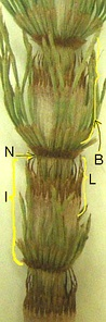 Equisetum: Reduced microphyllous leaves (L) arising in whorl from node