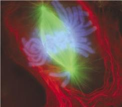 Поздняя метафаза митоза в клетке лёгкого тритона (использованы иммунофлуоресцентные красители)[22]. Чётко просматривается веретено деления, образованное микротрубочками (зелёные), и хромосомы (синие)