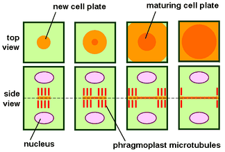 Phragmoplast and cell plate formation in a plant cell during cytokinesis. Left side: Phragmoplast forms and cell plate starts to assemble in the center of the cell. Towards the right: Phragmoplast enlarges in a donut-shape towards the outside of the cell, leaving behind mature cell plate in the center. The cell plate will transform into the new cell wall once cytokinesis is complete.