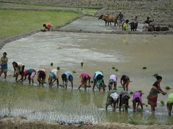 Planting in paddy fields in Nepal
