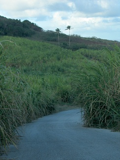 The cultivation of sugar cane, such as the cane growing in this field outside Saint Andrew, has always been a big part of the island's economy.