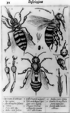 The oldest published image known to have been made with a microscope: bees by Francesco Stelluti, 1630[24]