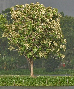 Tree in new leaves in Kolkata, West Bengal, India