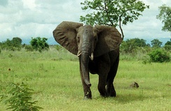 An African bush elephant.