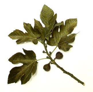 Common fig branch, showing leaves and fruit in various stages