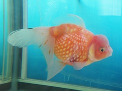 An unusual goldfish breed: An oranda-type variegated pearlscale.