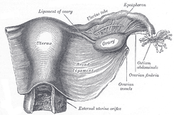 Uterus covered by the broad ligament