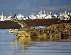 Pelicans have little to fear from crocodiles on land, but are quite vulnerable while swimming to crocodiles lurking under water.