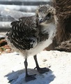 Chick on Tern Island, French Frigate Shoals