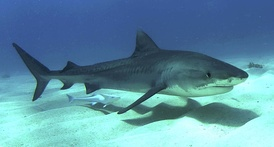 Profile photo of shark, accompanied by remora, swimming just above a sandy seafloor