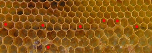 Honeycomb section containing transition from worker to drone (larger) cells – here bees make irregular and five-cornered cells (marked with red dots).