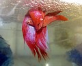 A pair of Siamese fighting fish spawning under their bubble nest.