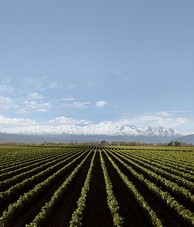 Vineyard in Luján de Cuyo, province of Mendoza, Argentina