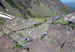 Piper's bellflower, an Olympic Mountain endemic, near Mt. Angeles