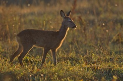Roe deer in a grassland area