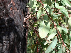 Epicormic shoots sprouting vigorously from epicormic buds beneath the bushfire damaged bark on the trunk of a Eucalyptus tree
