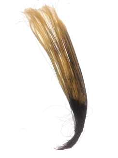 Trimmed human hair that is partly bleached.