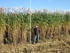 Miscanthus x giganteus energy crop, Germany.