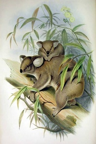 Natural history illustrator John Gould popularised the koala with his 1863 work The Mammals of Australia.