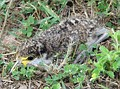 Young birds crouch and lie still and are well camouflaged