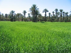 Barley field in an oasis (Southern Morocco, 2006)