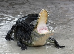 Defensive American alligator with mouth open