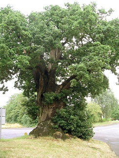An old English oak in Baginton, England
