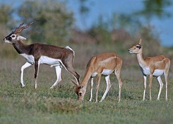 Blackbuck antelope of India.