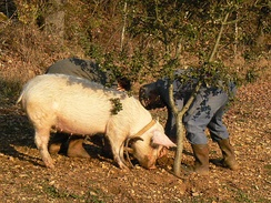 A pig trained to find truffles