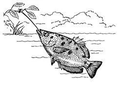 Illustration of an archerfish shooting water at a bug on a hanging branch